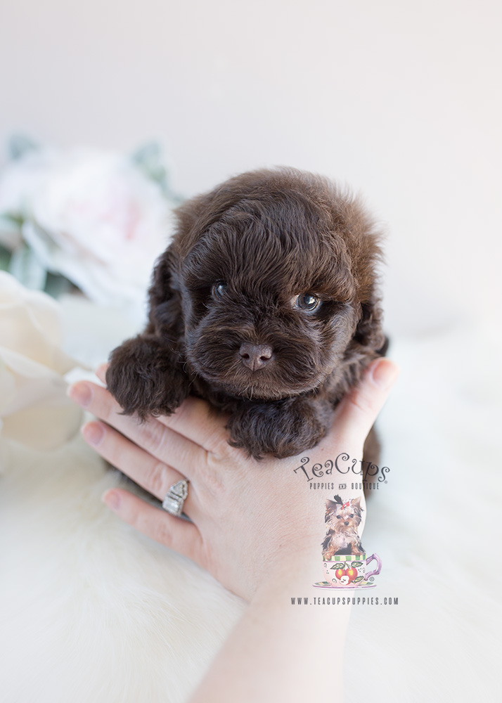 Shipoo Puppy For Sale By Teacup Puppies #135