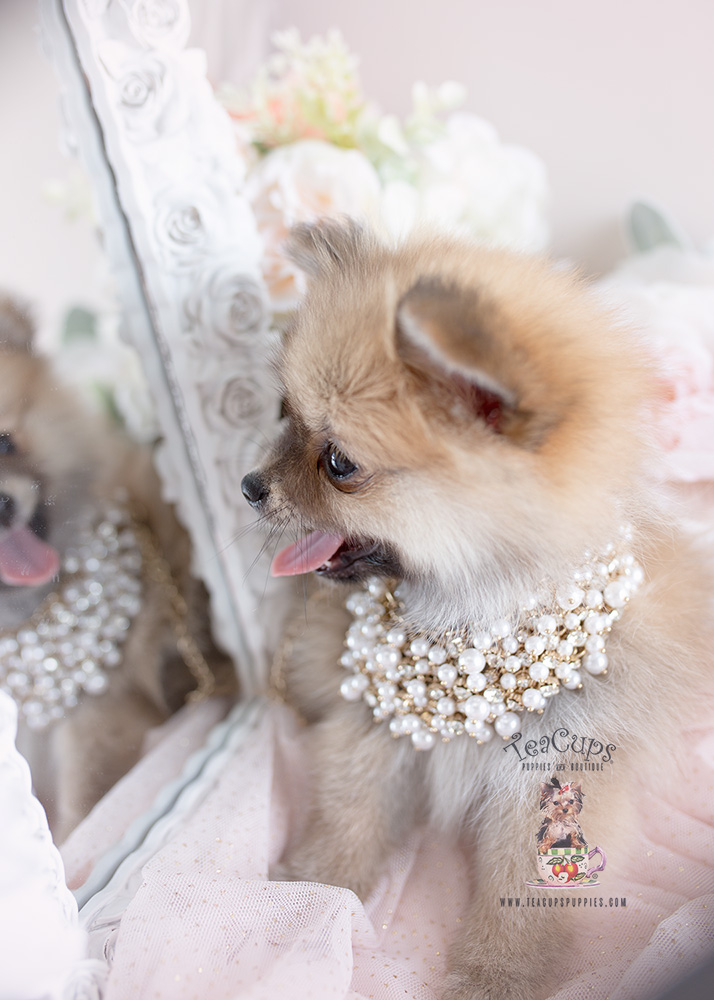 Pomeranian Puppy 146 For Sale Teacups Puppies Amp Boutique