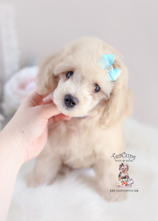 Puppy For Sale Teacup Puppies #165 Toy Poodle