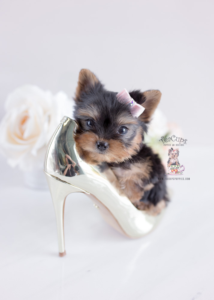 Yorkie Puppy For Sale Teacup Puppies #163