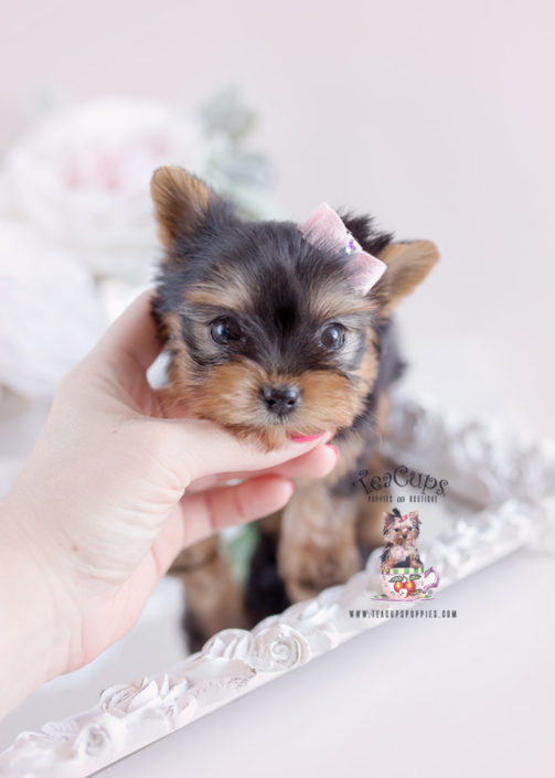 Gorgeous Yorkie Puppy For Sale