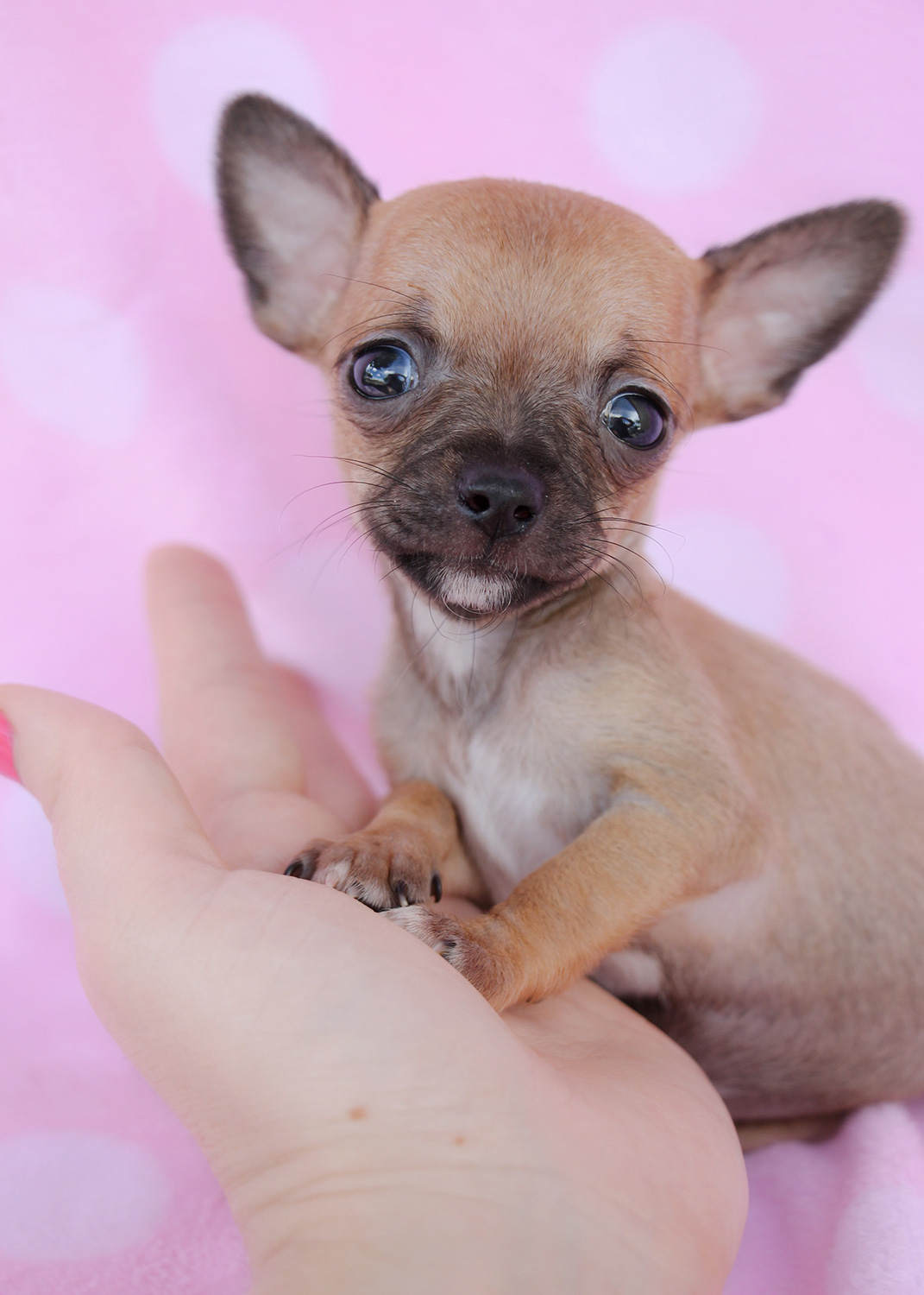 Tiny Chihuahuas For Sale At Teacups Puppies South Florida