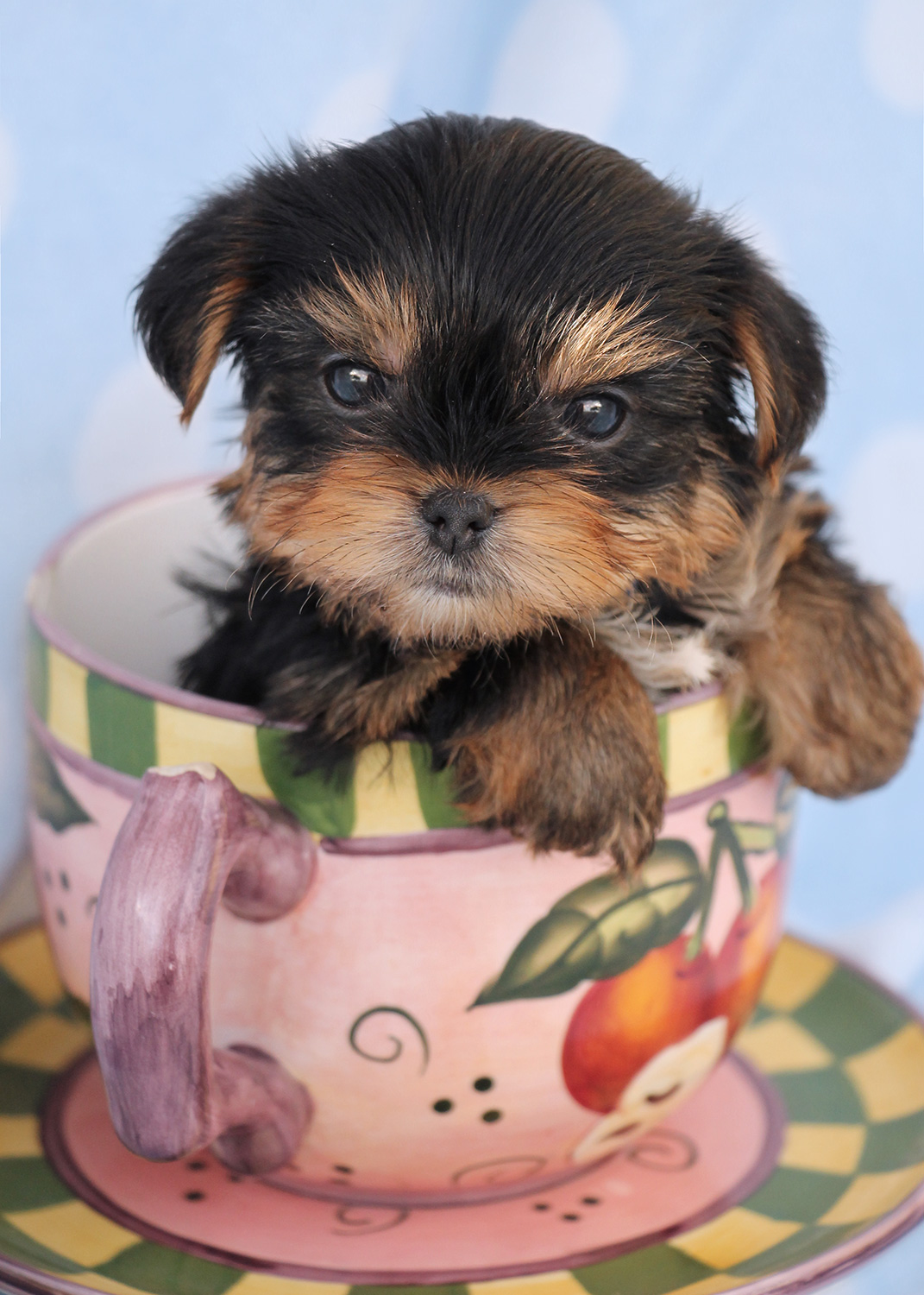 teacup yorkie for sale craigslist micro tea cup yorkie puppies at teacups puppies and 8916
