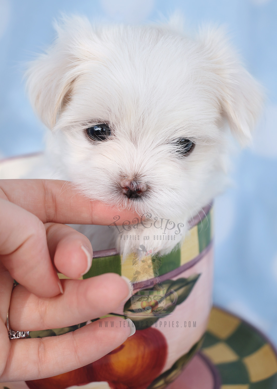 teacup maltese puppy for sale maltese puppies for sale in miami fort lauderdale fl 565