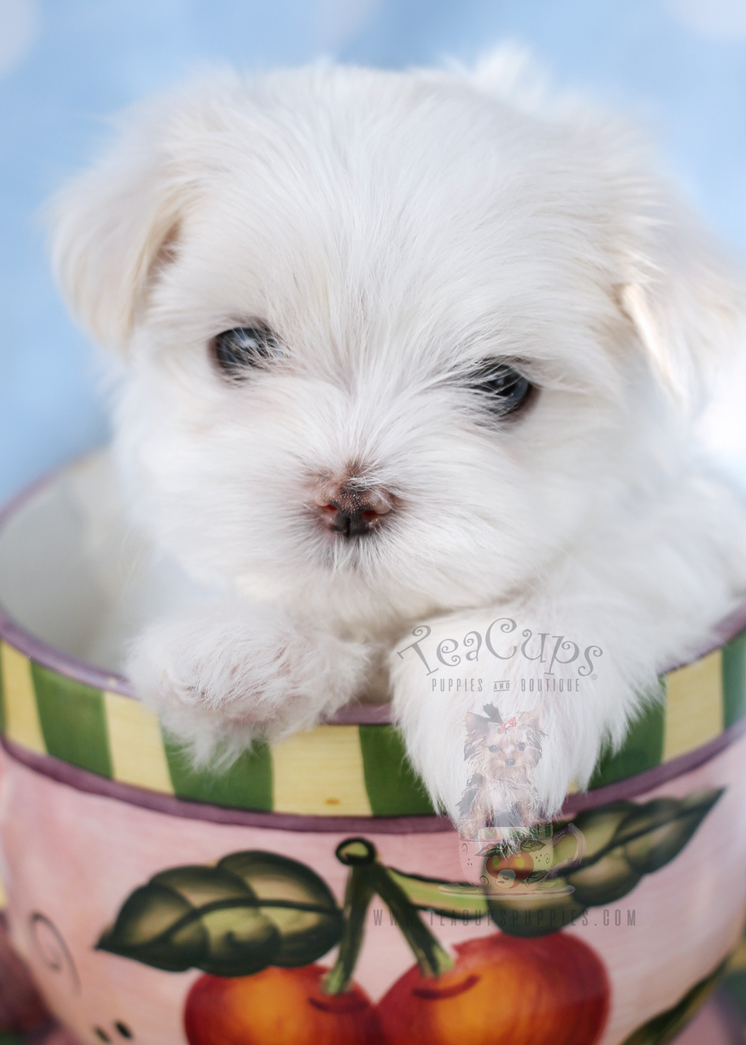 maltese teacup for sale maltese puppies for sale in miami fort lauderdale fl 9316