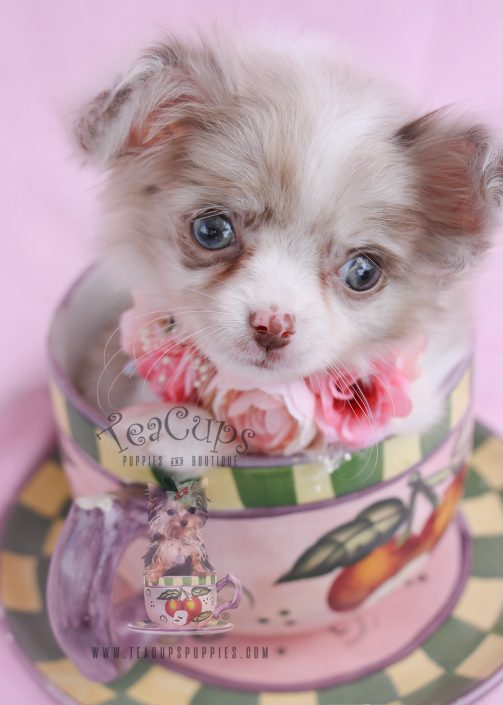 chihuahua puppiesfor sale teacup chihuahuas and chihuahua puppies for sale by 8710