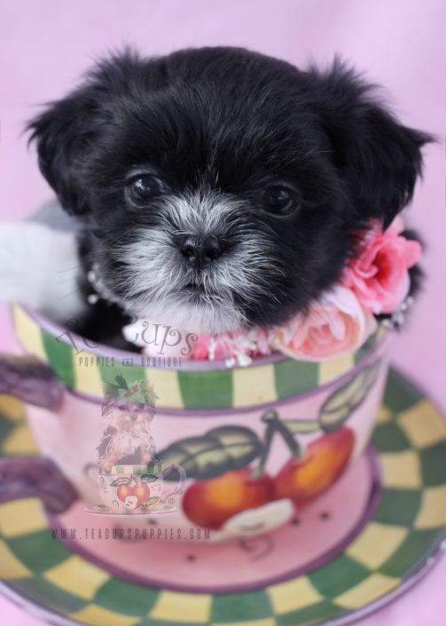 miniature shih tzu puppies for sale imperial shih tzu puppies for sale by teacups puppies 5968