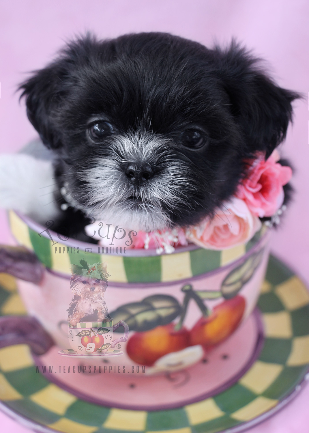 teacup shih tzu puppies for sale in ga chihuahua puppies for sale by teacups puppies and boutique 1669