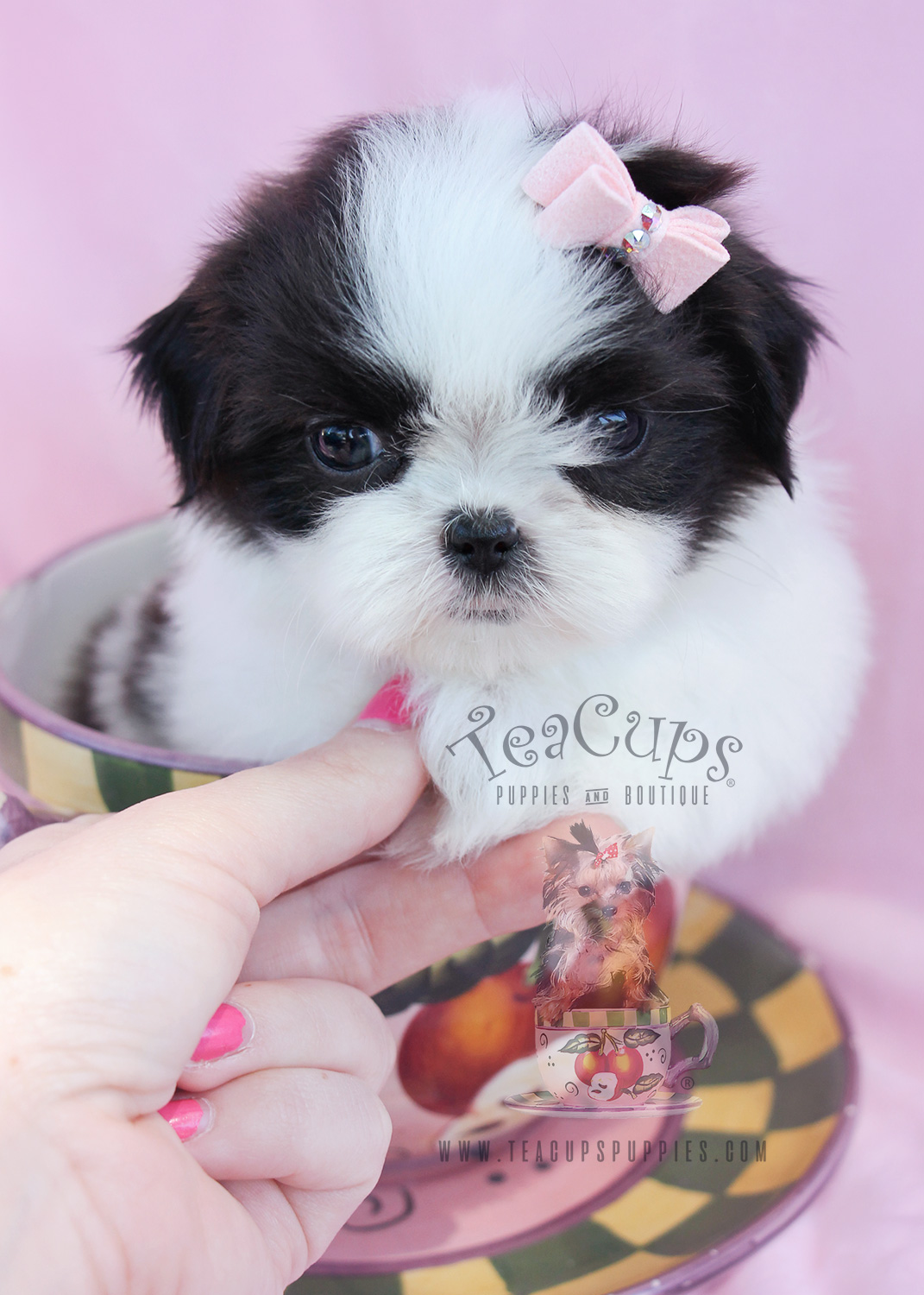 teacup shih tzu puppies for sale in ga miniature schnauzer puppies for sale teacups puppies 9158