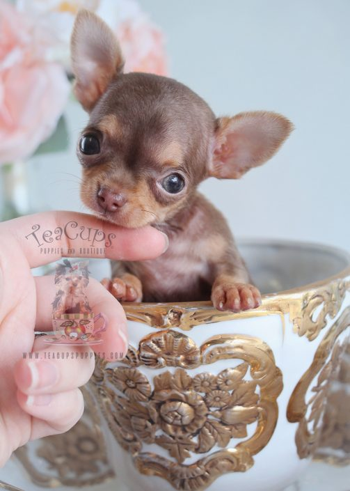 chihuahua puppiesfor sale teacup chihuahuas and chihuahua puppies for sale by 5311