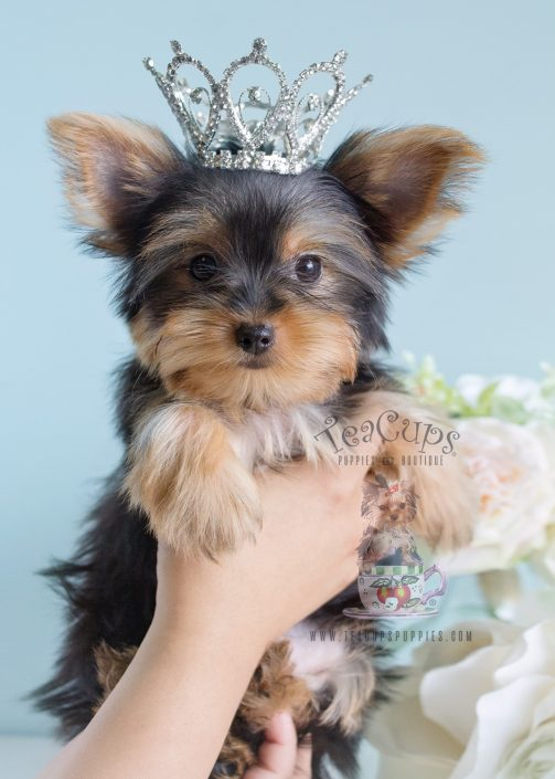 teacup yorkshire terrier puppy for sale teacup yorkies for sale by teacups puppy boutique 8799
