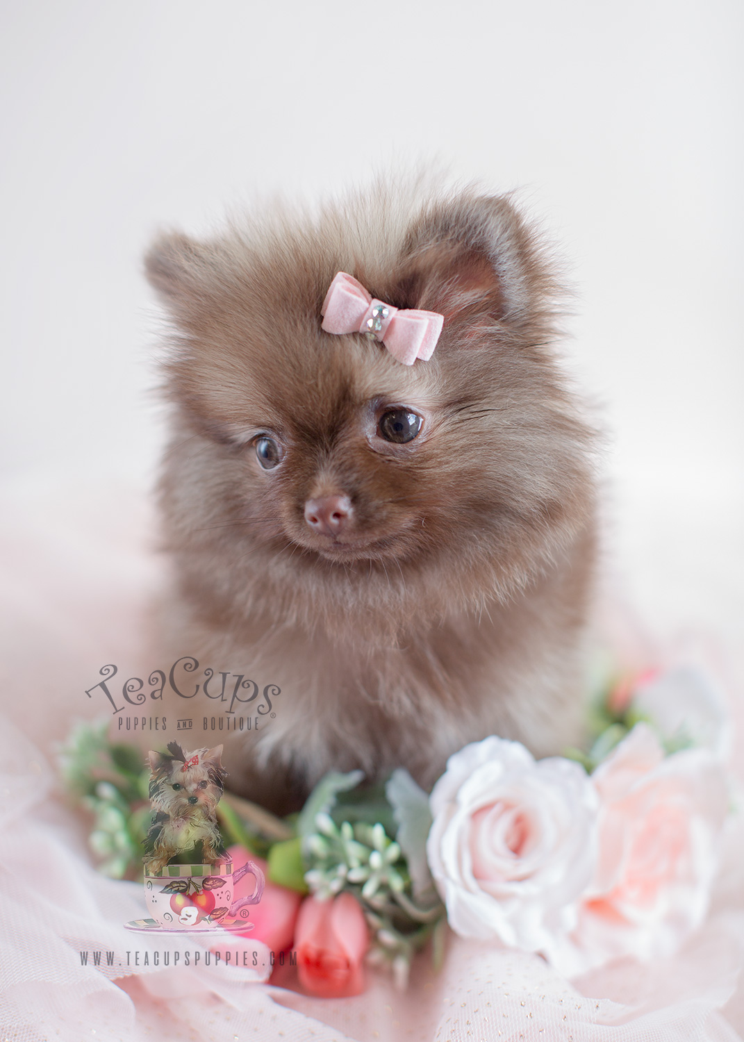 darling little pomeranian puppies for sale teacups puppies boutique. Black Bedroom Furniture Sets. Home Design Ideas