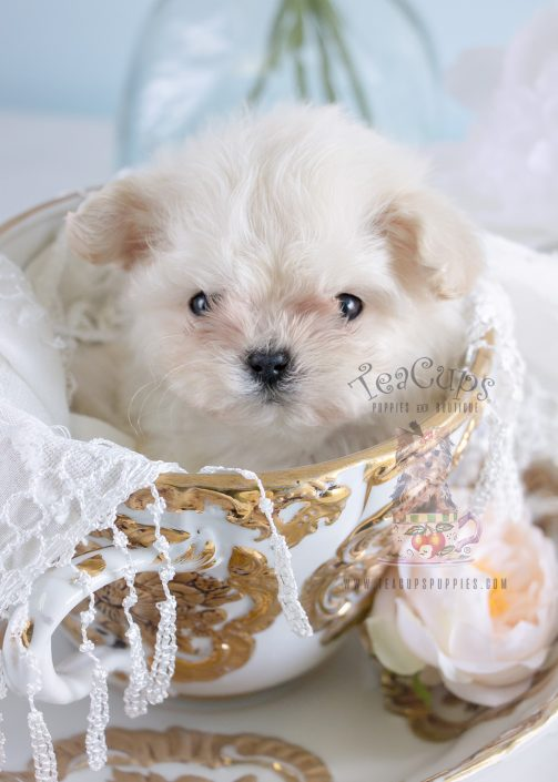 maltese teacup for sale teacup and toy maltese puppies teacups puppies boutique 8262