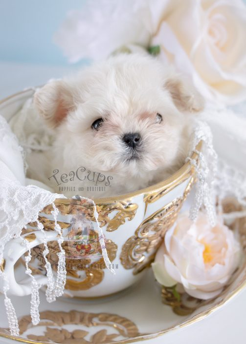 micro teacup maltese puppies for sale teacup and toy maltese puppies teacups puppies boutique 2633
