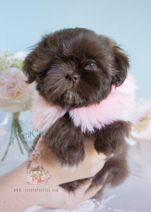 miniature shih tzu puppies for sale imperial shih tzu puppies for sale by teacups puppies 2529