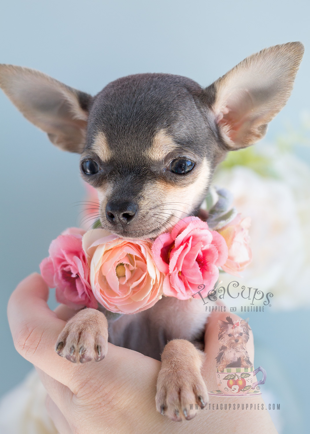 chihuahua puppiesfor sale blue chihuahua puppies teacups puppies boutique 2032