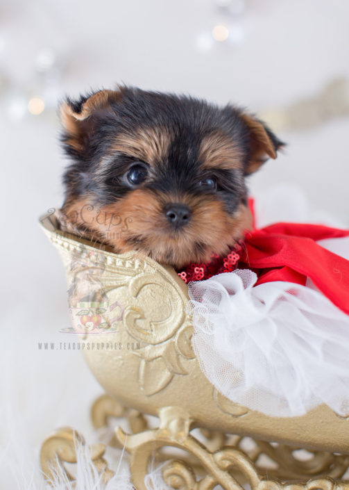 teacup yorkshire terrier puppy for sale toy or teacup yorkies for sale teacups puppies boutique 7815