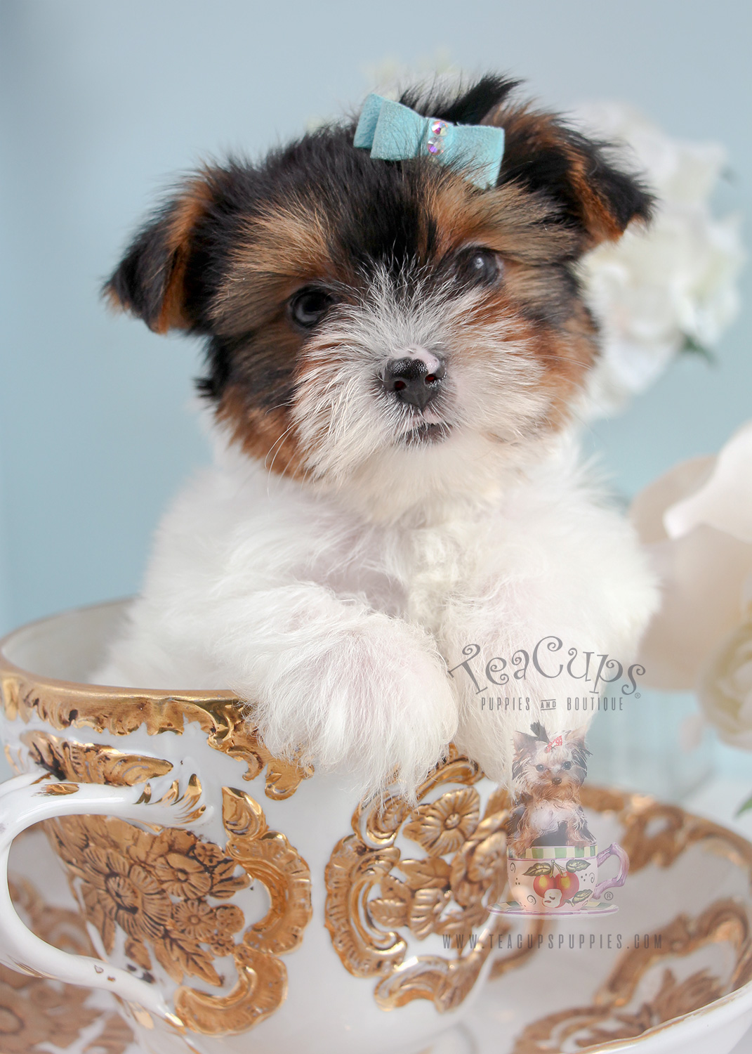 biewer terrier puppies for sale biewer terrier puppies south florida teacups puppies 3187