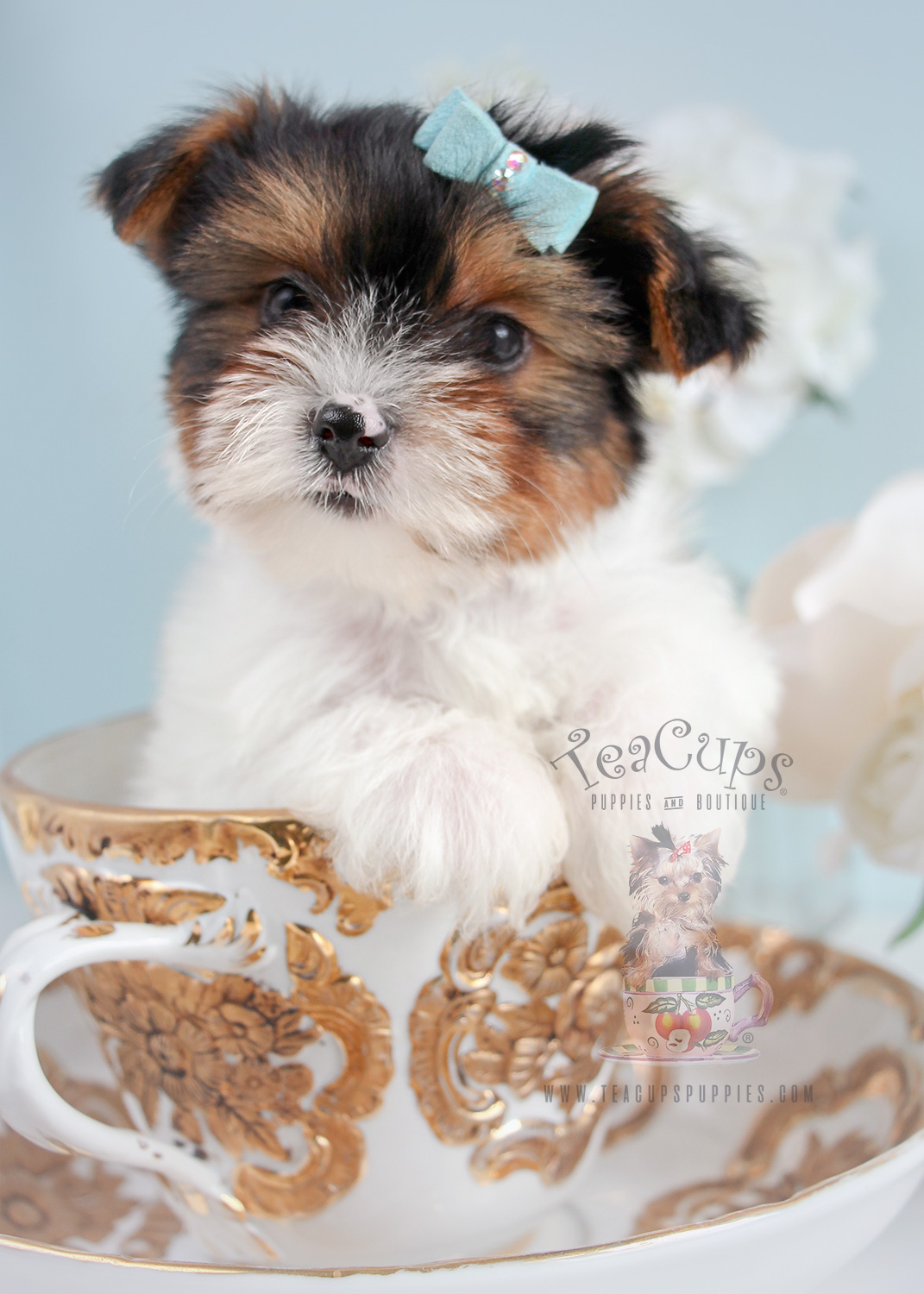 biewer terrier puppies for sale yorkshire terriers here teacups puppies boutique 2795
