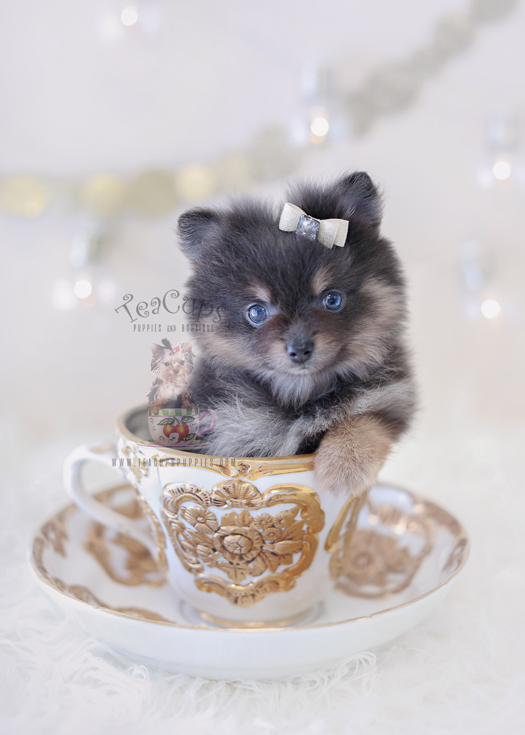 blue pomeranian for sale french bulldog puppy for sale south florida teacups 4530