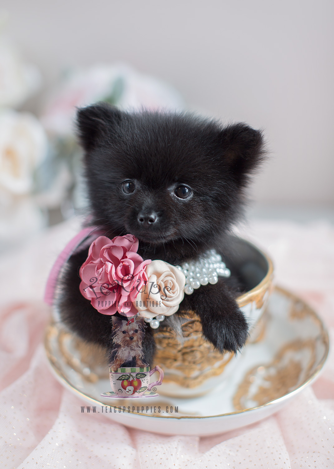 Pomeranian Puppies and Pomeranians For Sale in South