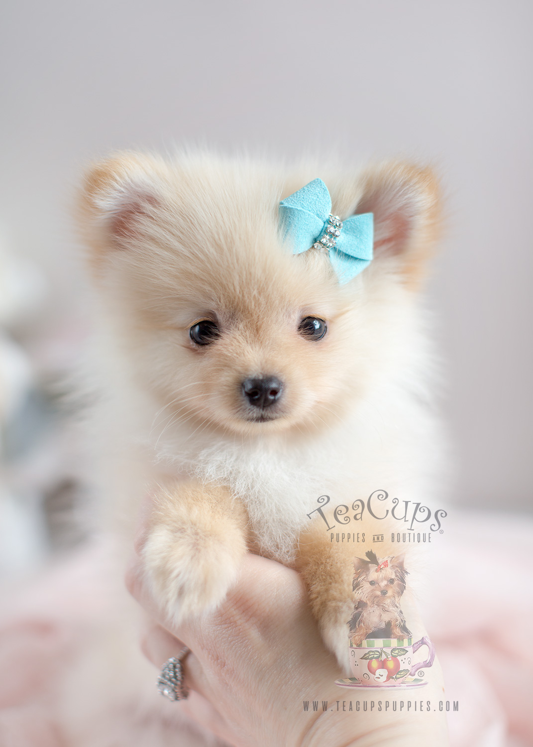 pomeranian puppies for sale in florida teacup pomeranian for sale at south florida teacups 8966