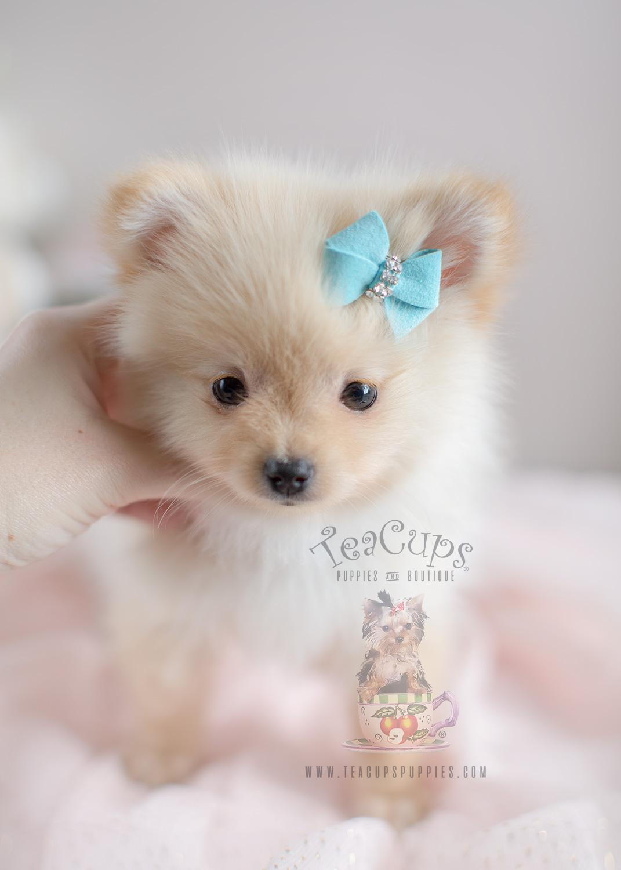 Teacup Pomeranian For Sale At South Florida Teacups Puppies Amp Boutique