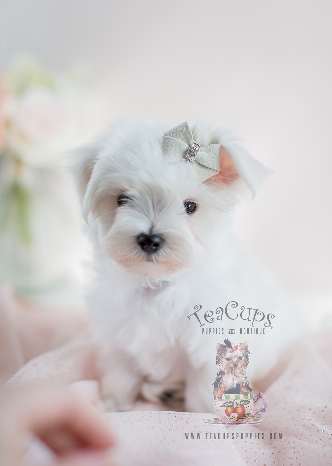teacup maltese price maltese puppies for sale in south florida teacups 8329