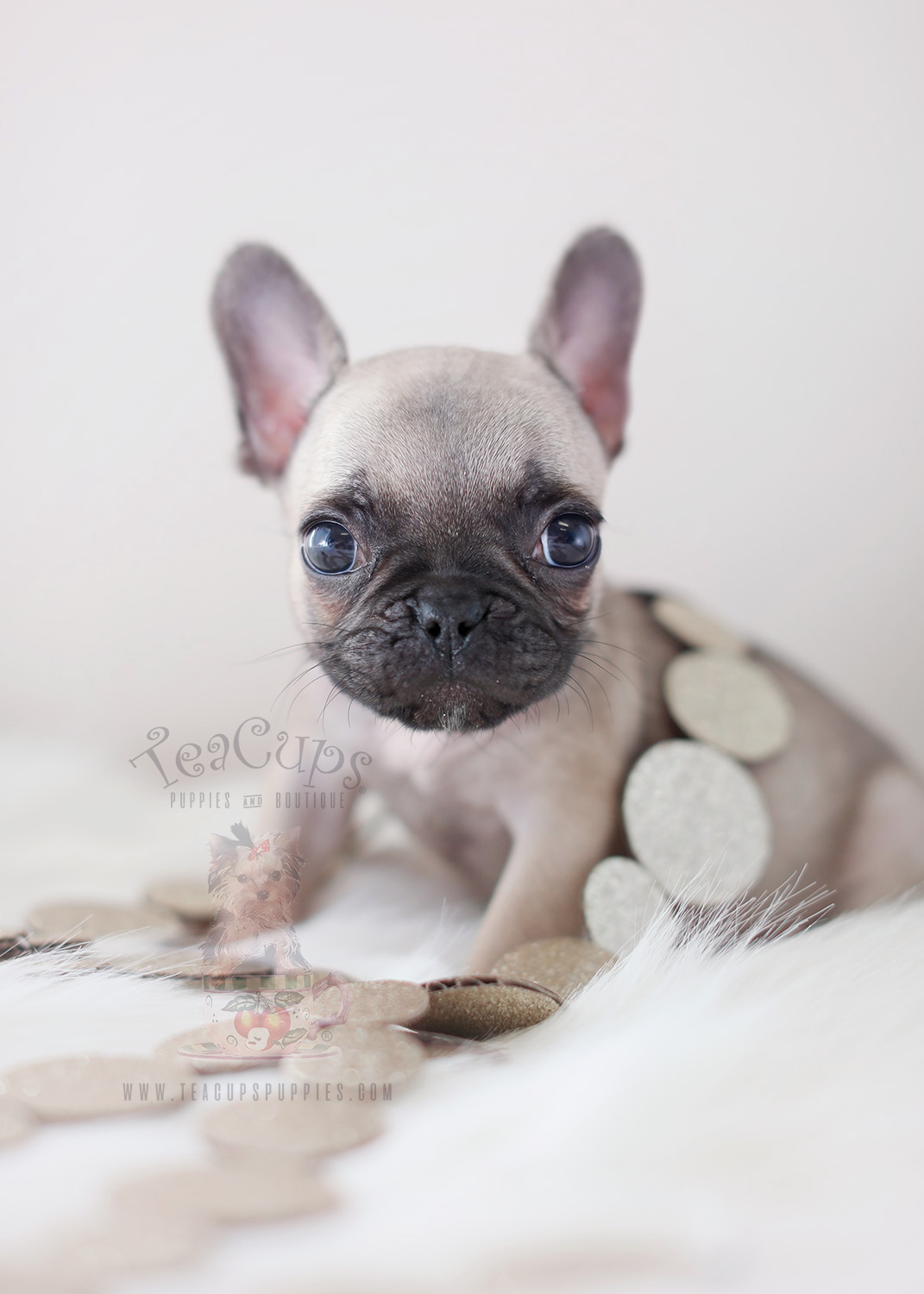teacup french bulldog price teacup pomeranian puppies for sale in miami ft 697