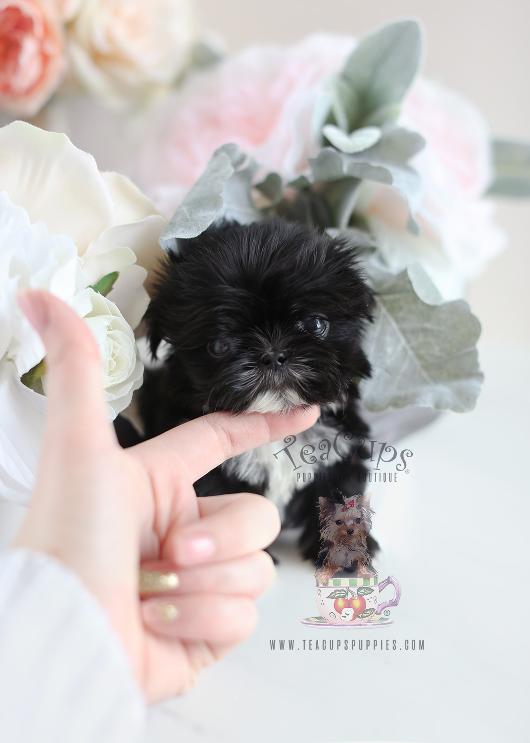 tiny shih tzu puppy the cutest little shih tzu puppies for sale teacups 2089