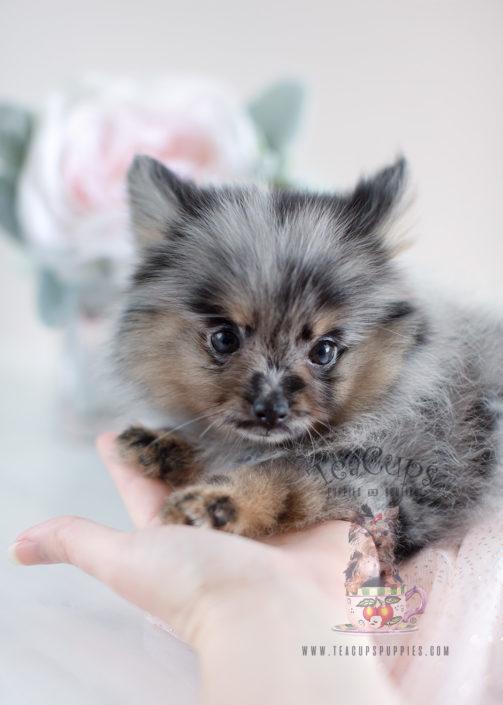 Tiny Teacup Pomeranian Puppies | Teacups, Puppies & Boutique