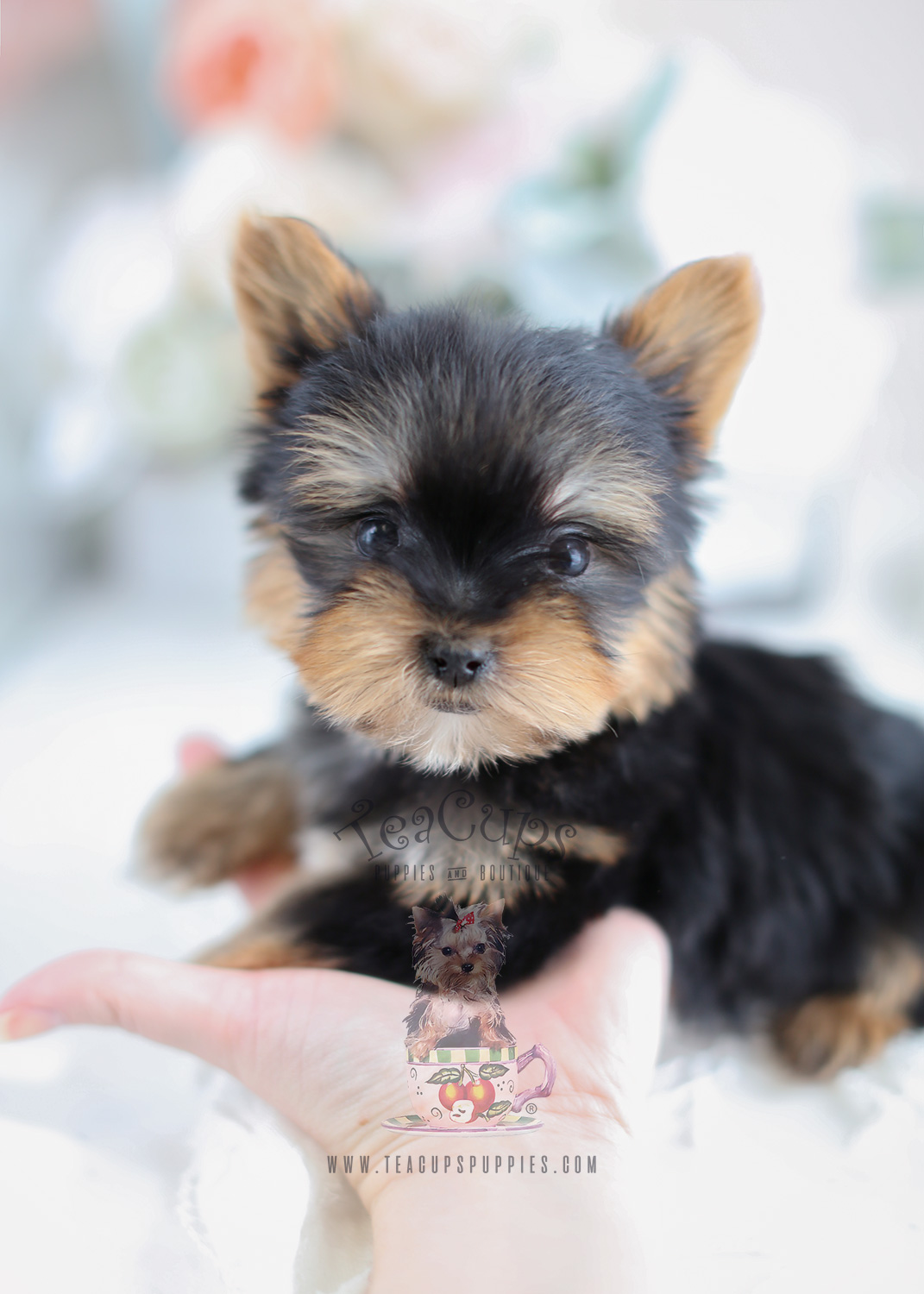 teacup yorkshire terrier puppies florida