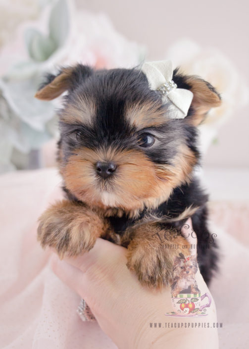 teacup terrier toy or teacup yorkies for sale teacups puppies boutique 2335
