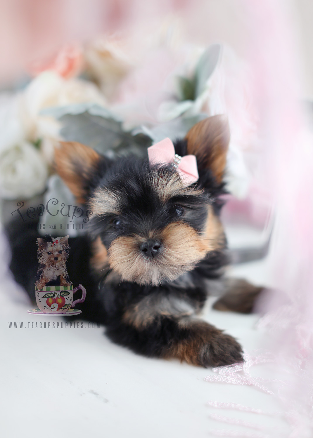 teacup yorkshire terrier puppy for sale yorkshire terrier puppy for sale south florida teacups 1691