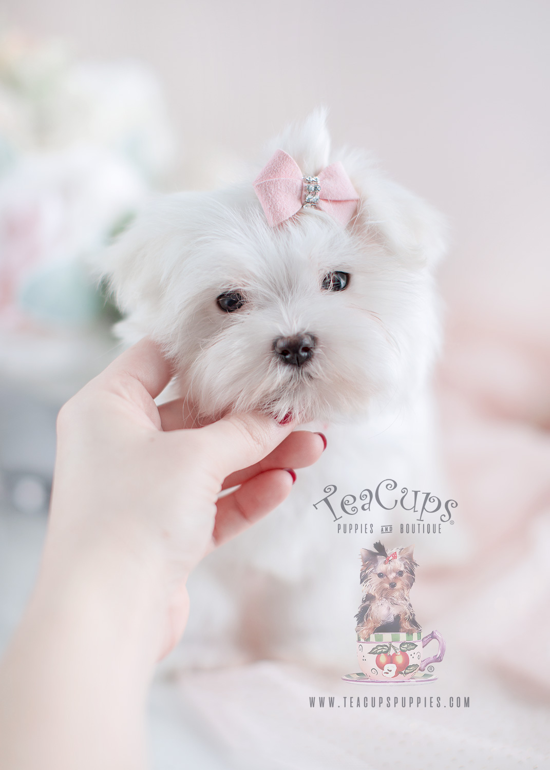 teacup maltese price teacup pomeranian puppies for sale in miami ft 2328