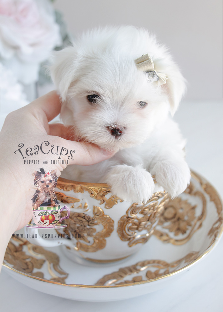 teacup maltese price toy maltese for sale at teacups puppies south florida 4442