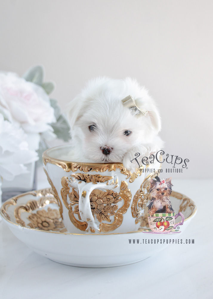 teacup maltese price toy maltese for sale at teacups puppies south florida 1410
