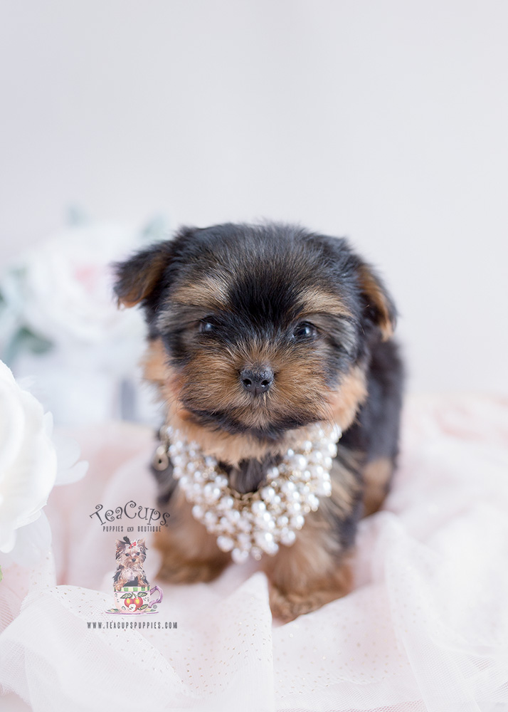 teacup yorkie for sale craigslist cute little yorkie puppies south florida teacups 3149