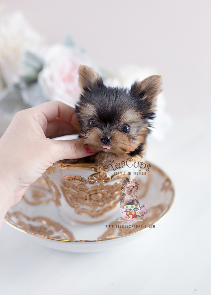 Precious Teacup Yorkshire Quot Yorkie Quot Terrier Puppies For