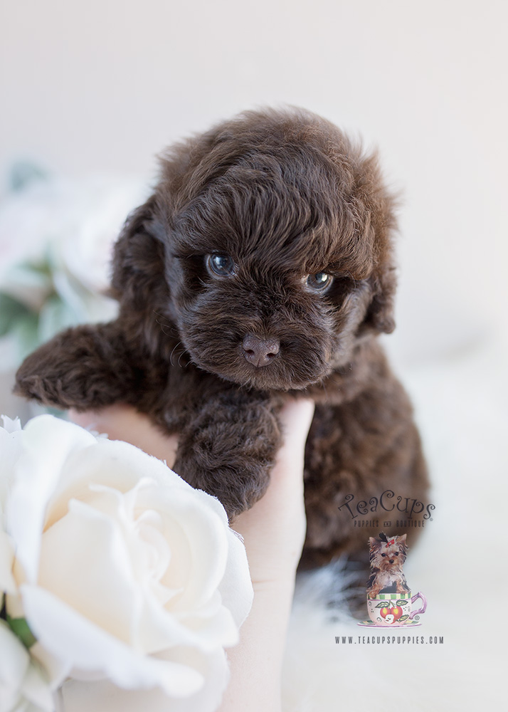 Shih Poo Puppy #135 | Teacups, Puppies & Boutique